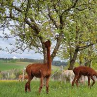 Alpakas vom Bio-Hof