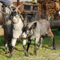 Zwei Blobe Ziegen Böcke 6 Monate zu verkaufen
